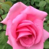 flower in Villandry